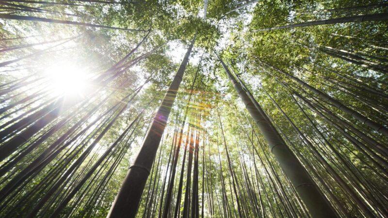Groei eigenschappen bamboe